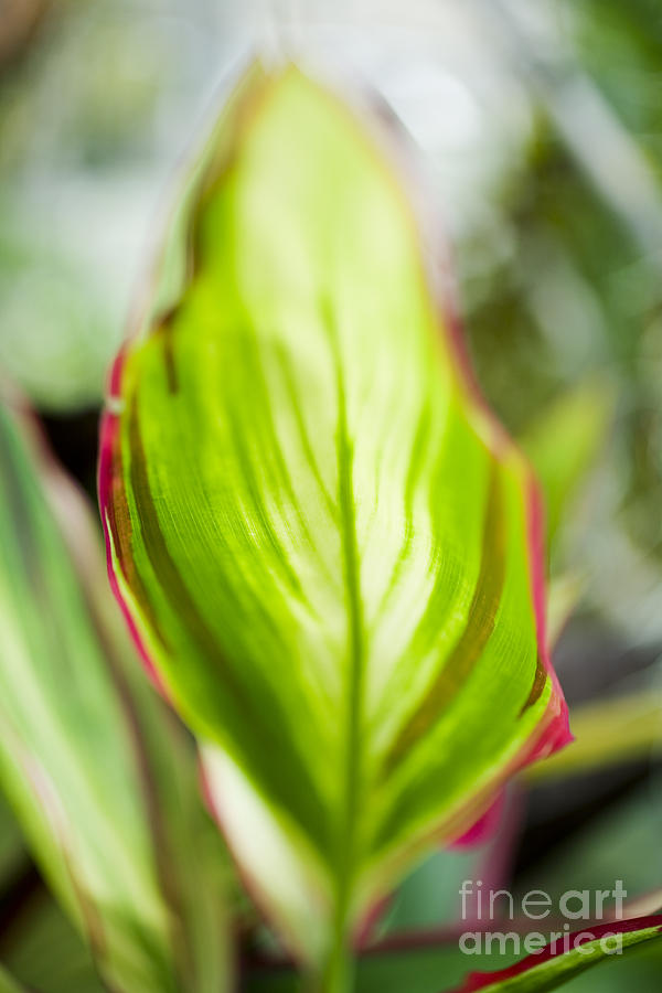 Hawaii Photograph - Ti-leaf Macro by Charmian Vistaunet