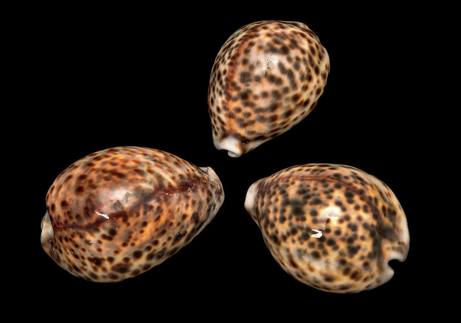 Anatomy Photograph - Tiger Cowrie by Natural History Museum, London