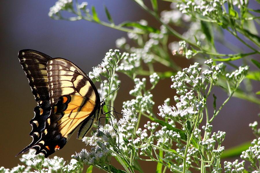 Butterflies Photograph - Tiger by Reid Callaway