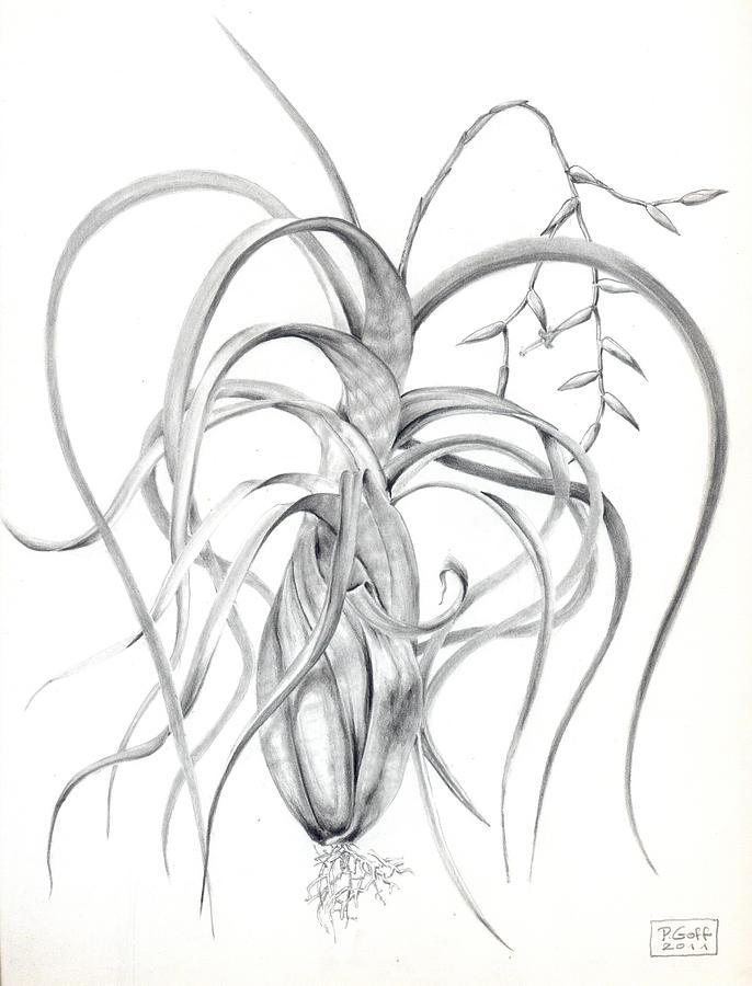 Air Plant Drawing - Tillandsia Flexuosa by Penrith Goff