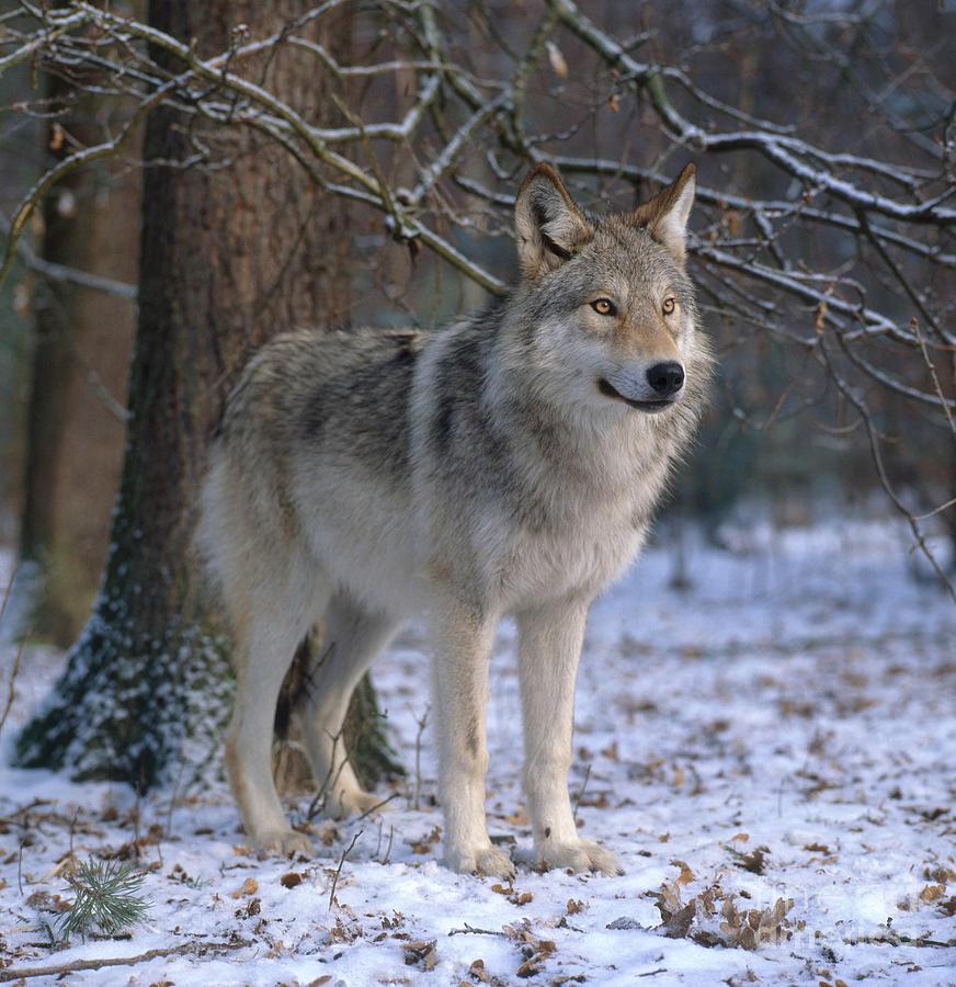 Gray Wolf Photograph - Timber Wolf by Hans Reinhard