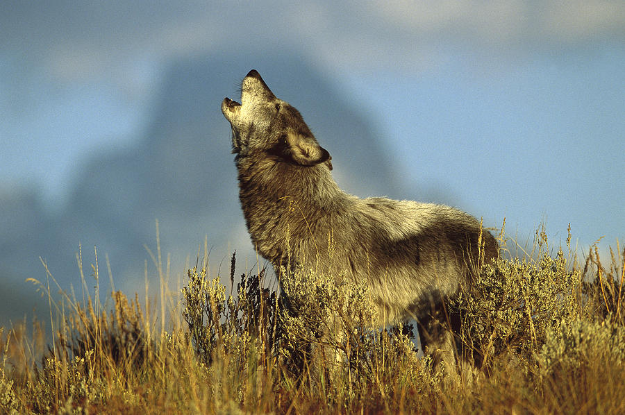 Photograph Photograph - Timber Wolf Howling Idaho by Tom Vezo