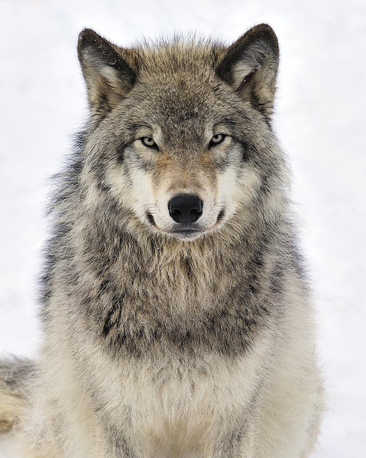 timber wolf portrait photograph by tony beck