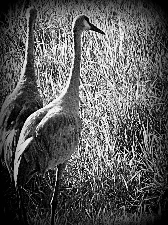 Sand Hill Cranes Photograph - Together Forever by Selma Glunn