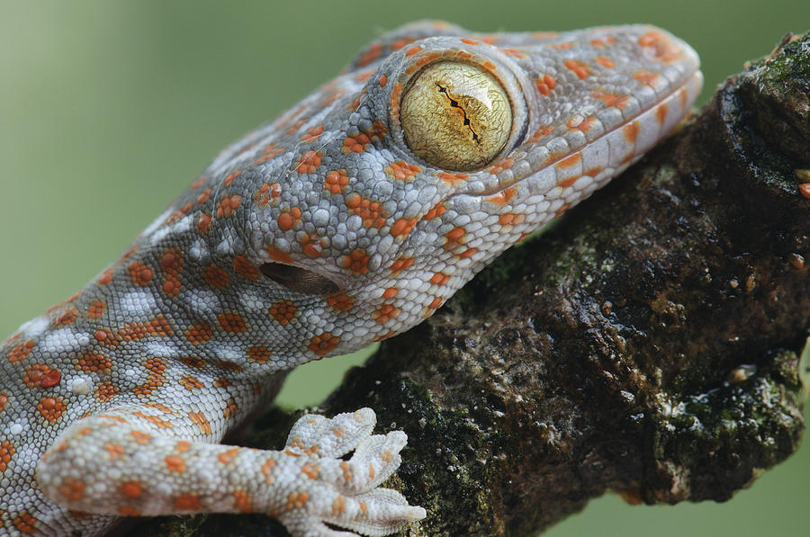 Tokay Gecko Juvenile Thailand Photograph by Chien Lee