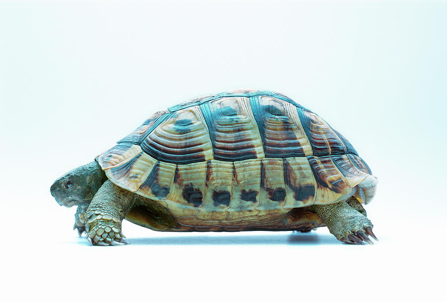 Tortoise Photograph - Tortoise by Gustoimages/science Photo Library