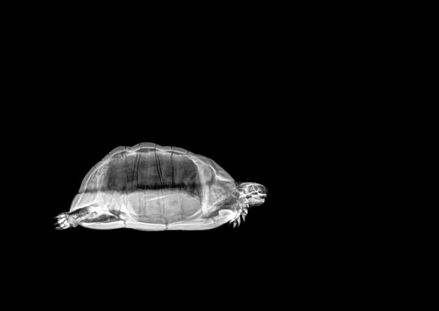 Tortoise Under X-ray by Photostock-israel