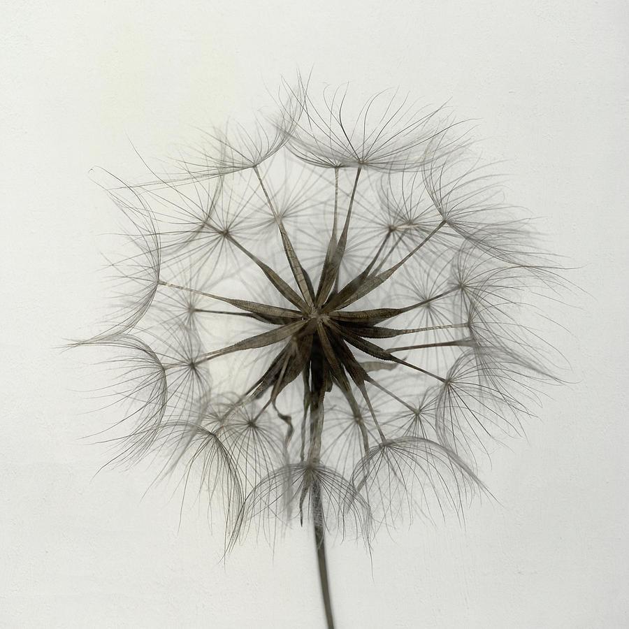 Dandelion Photograph - Tragopogon by Lotte Gr??nkj??r