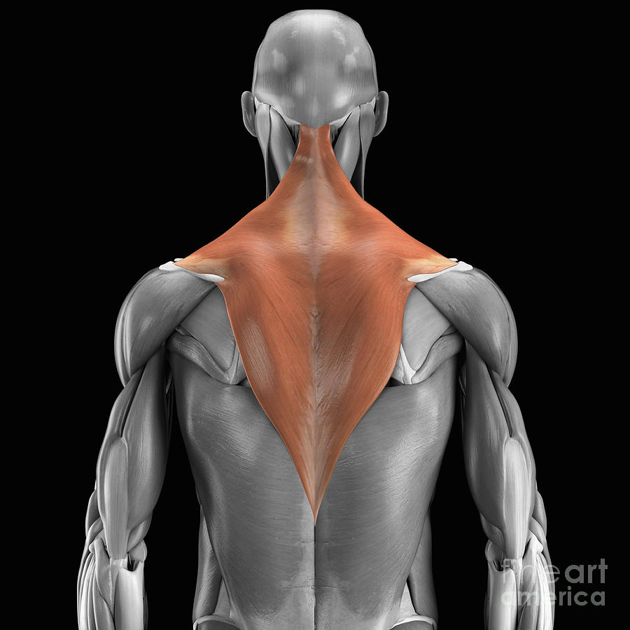 Trapezius Muscle Photograph By Science Picture Co