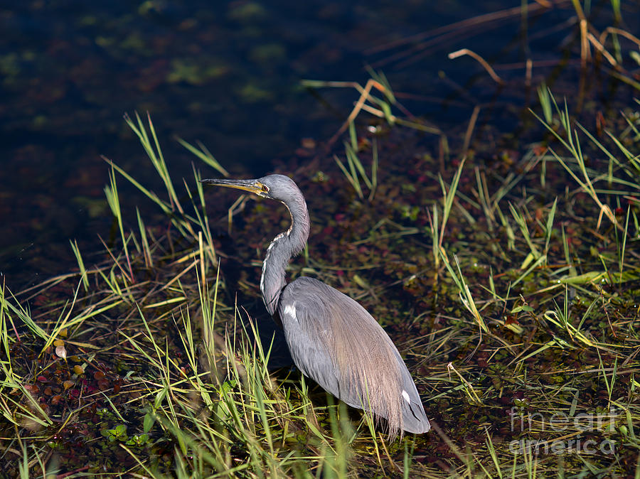 Anhinga Trail Photograph - Tricolored Heron by Tracy Knauer