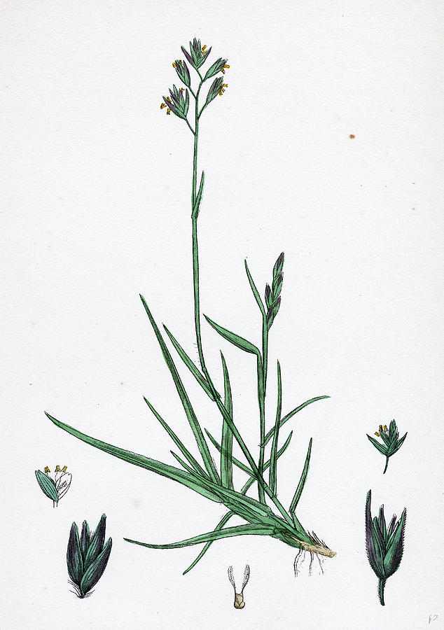 19th Century Drawing - Triodia Decumbens Decumbent Heath-grass by English School