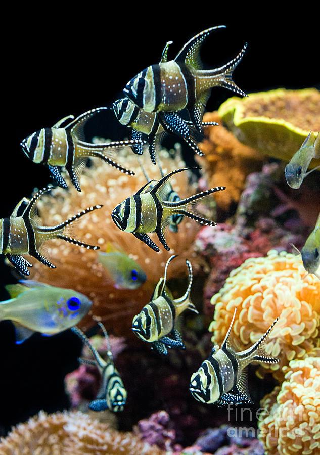Banggai Cardinalfish Photograph - Tropical Wonderland - Banggai Cardinalfish by Jamie Pham