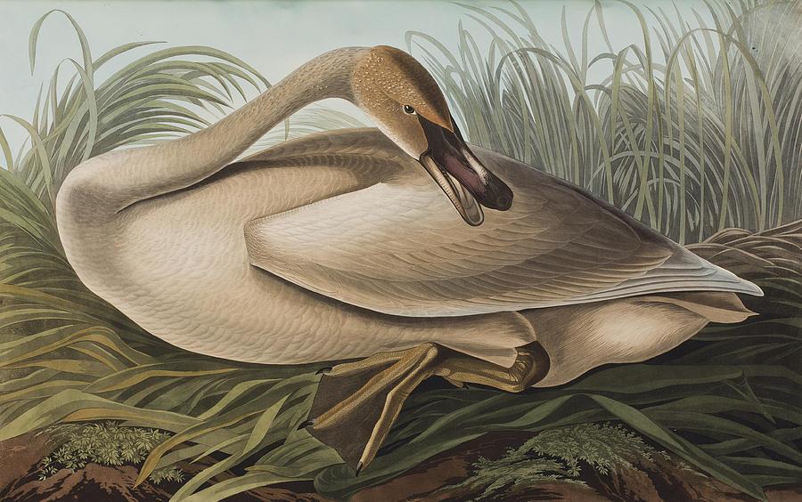 Birds Painting - Trumpeter Swan by John James Audubon