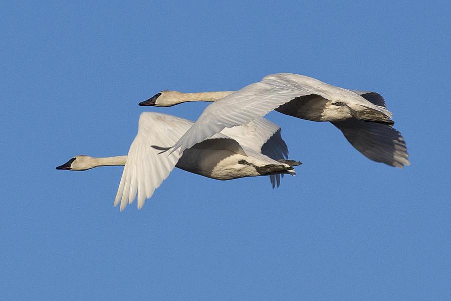Swan Photograph - Trumpeter Swans by Bob Stevens