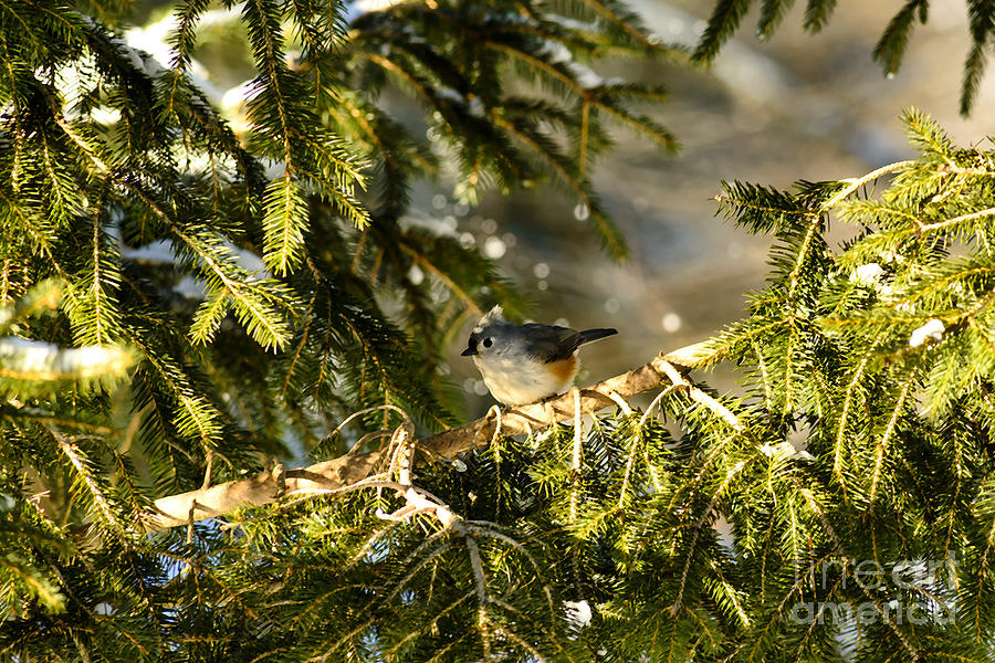 Tufted Titmouse Photograph - Tufted Titmouse by Thomas R Fletcher