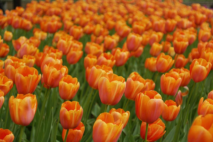 Tulip Flower Garden Japan Photograph by Hiroya Minakuchi