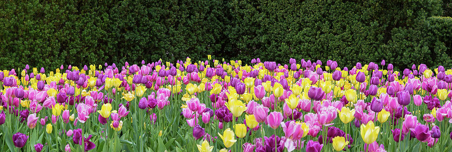 Horizontal Photograph - Tulip Flowers In A Garden, Chicago by Panoramic Images
