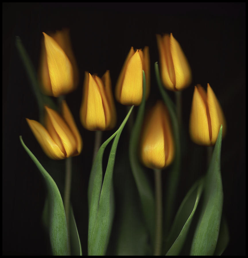 Tulips Photograph - Tulips by Brian Haslam