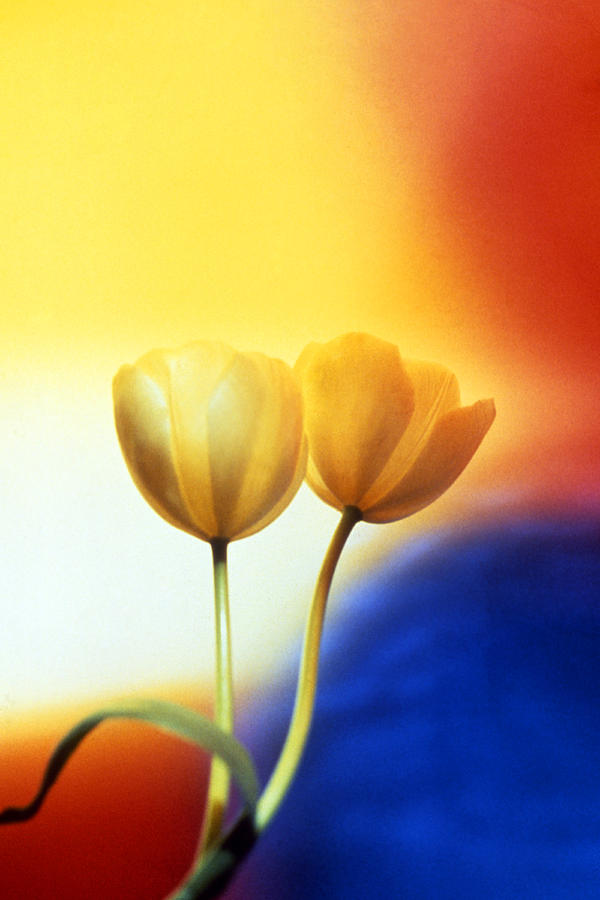 Tulips Photograph - Tulips  by Etti PALITZ