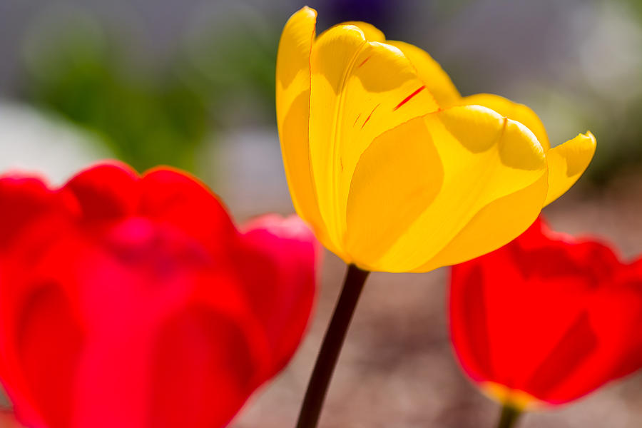 Bloom Photograph - Tulips by Gaurav Singh
