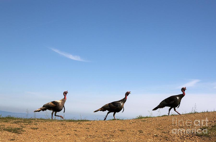 Avian Photograph - Turkey Stroll by Juan Romagosa