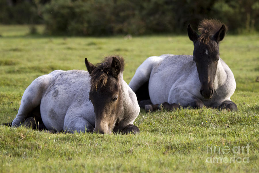 Pony Photograph - Twins by Angel  Tarantella