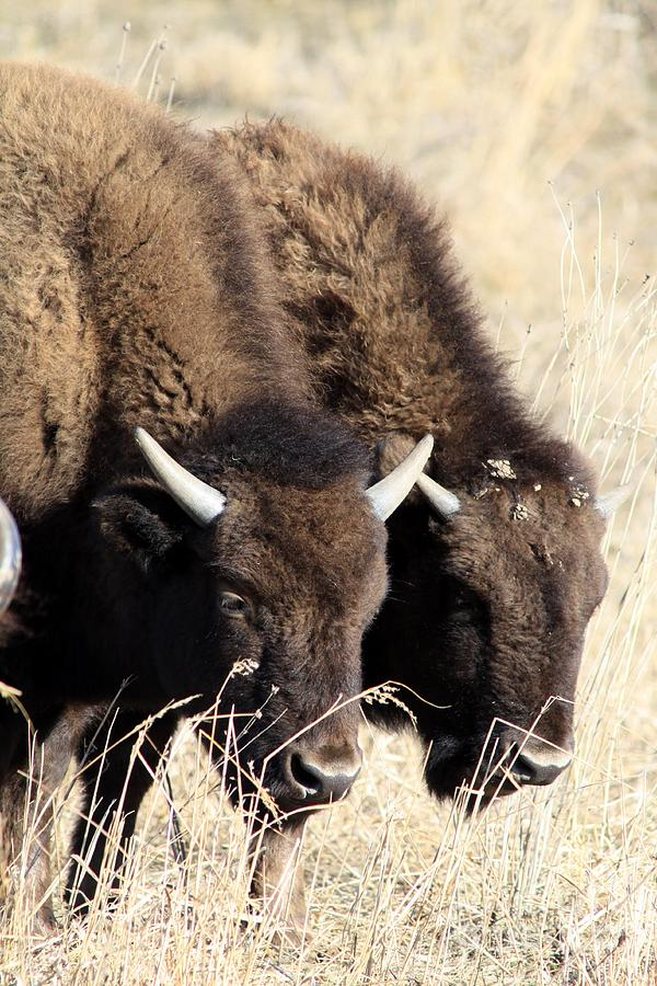 Buffalo Photograph - Twins by Rick Rauzi