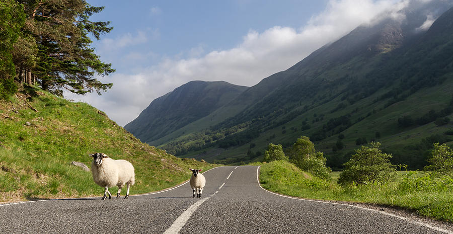Highlands Photograph - Two Sheeps Walking Along A Road In The Scottish Highlands by Leander Nardin