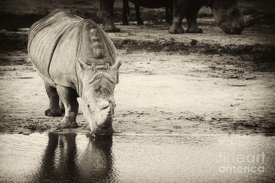 Two White Rhinos Photograph