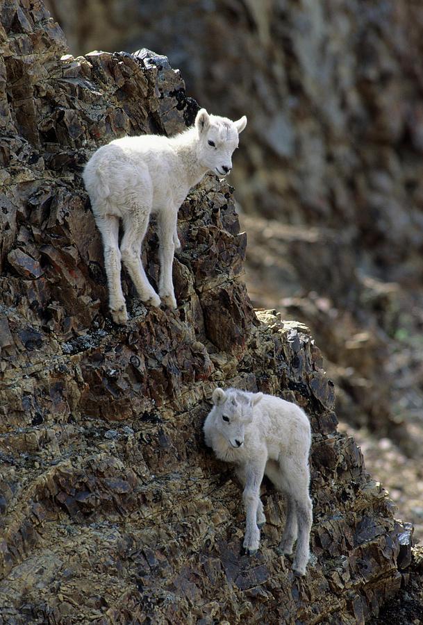 Alaska Photograph - Usa, Alaska, Dall Sheep, Dall Lamb by Gerry Reynolds