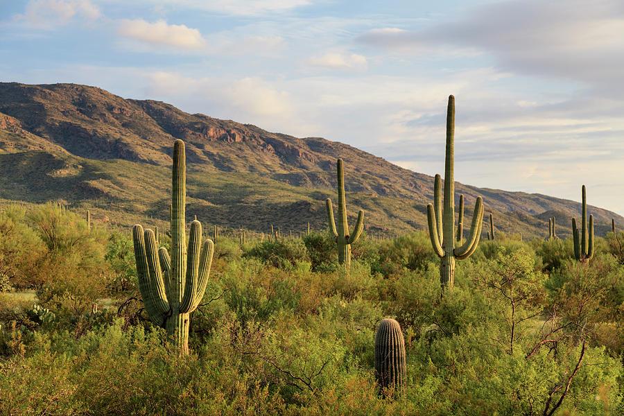 Usa, Arizona, Tucson, Saguaro National Photograph by Michele Falzone