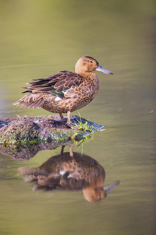 Anatidae Photograph - Usa, Wyoming, Cinnamon Teal Rests by Elizabeth Boehm