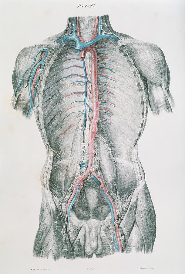 19th Century Photograph - Vascular System by Sheila Terry/science Photo Library