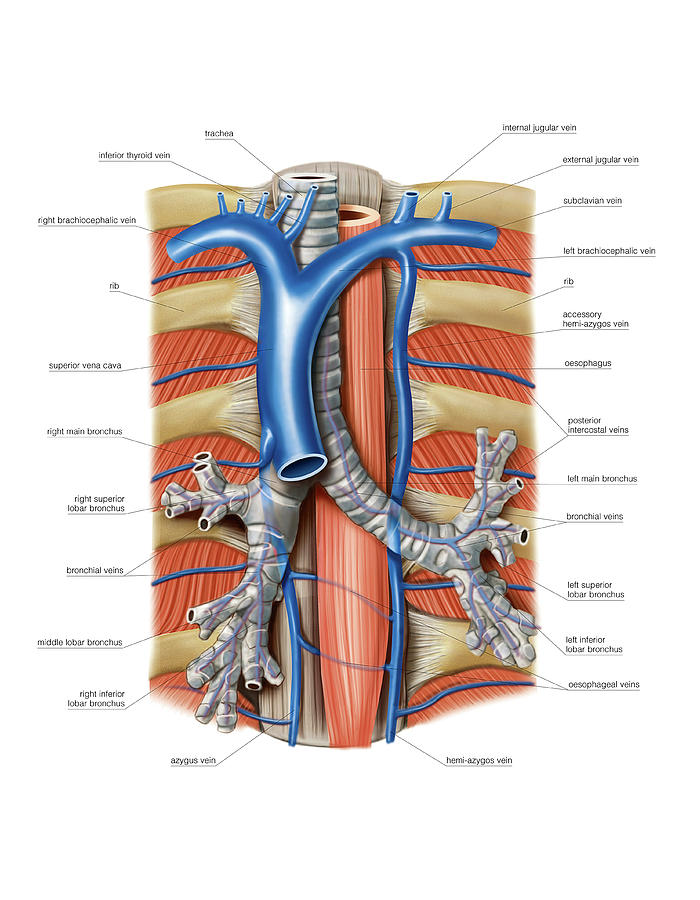 Venous System Of The Chest Photograph By Asklepios Medical Atlas