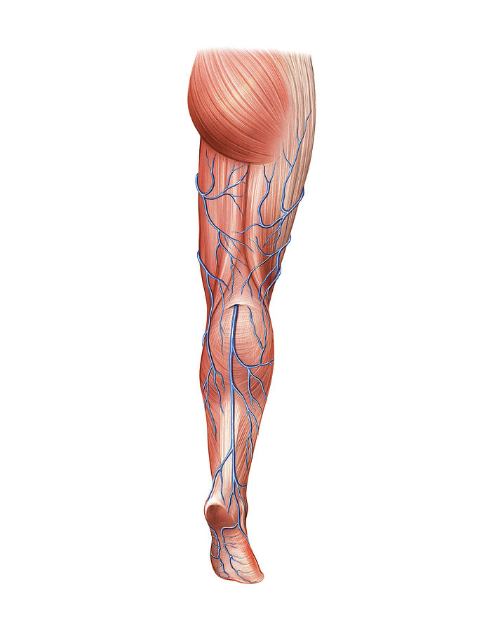 Venous System Of The Lower Limb Photograph by Asklepios Medical Atlas