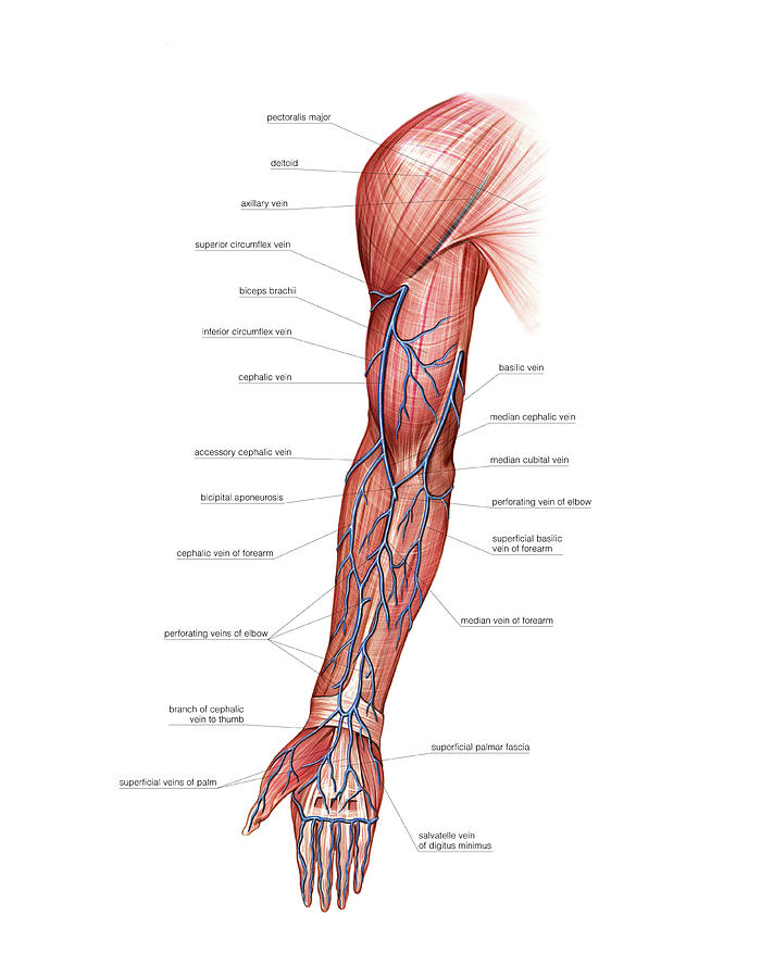 Venous System Of The Upper Limb Photograph by Asklepios Medical Atlas