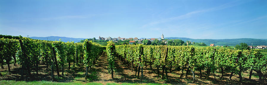 Horizontal Photograph - Vineyard, Alsace, France by Panoramic Images