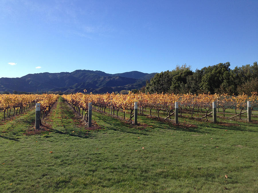Vineyard Photograph - Vineyard by Ron Torborg
