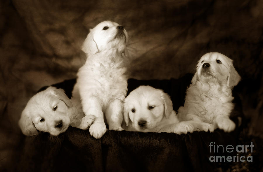 Dog Photograph - Vintage Festive Puppies by Angel Ciesniarska