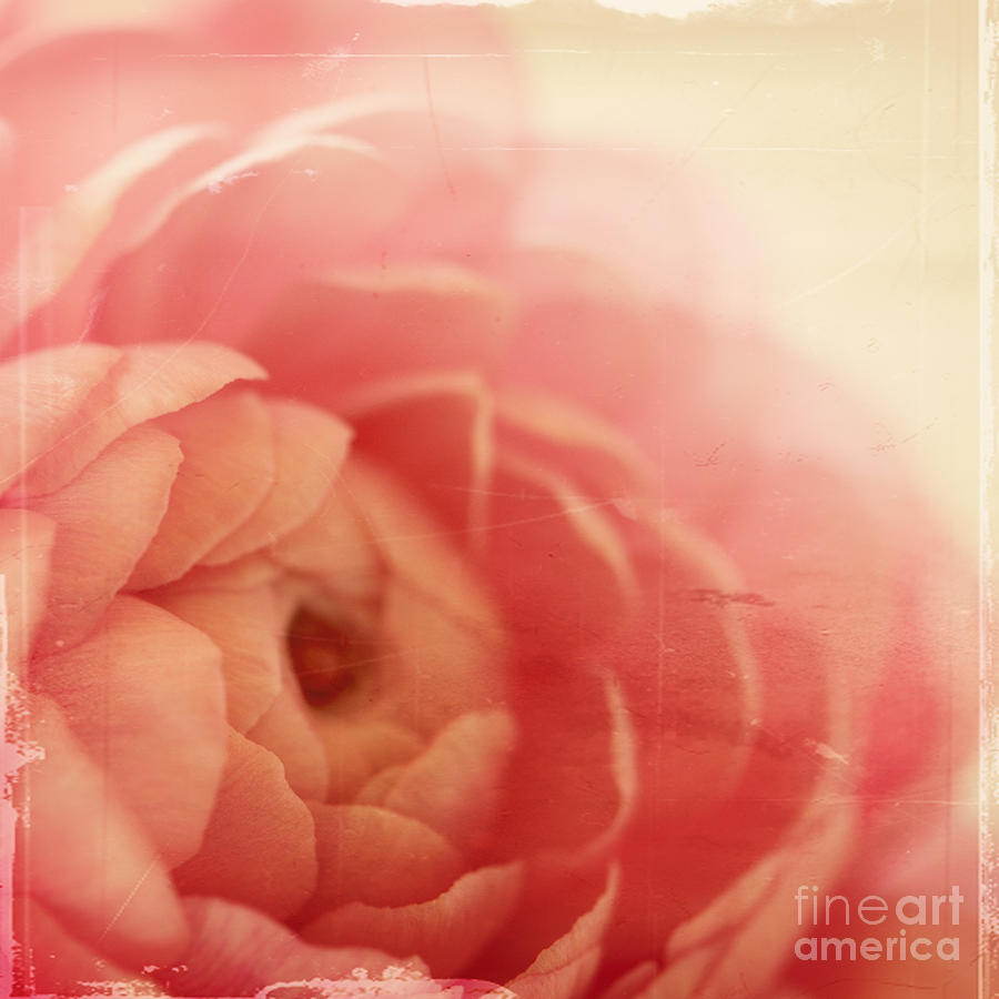 Pink Photograph - Vintage Rose by Kim Fearheiley