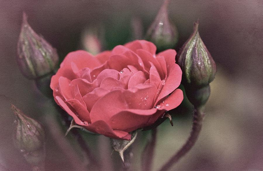 Rose Photograph - Vintage Rose No. 4 by Richard Cummings