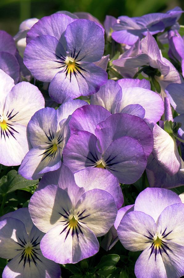 Viola Penny Purple Picotee    250 Seeds