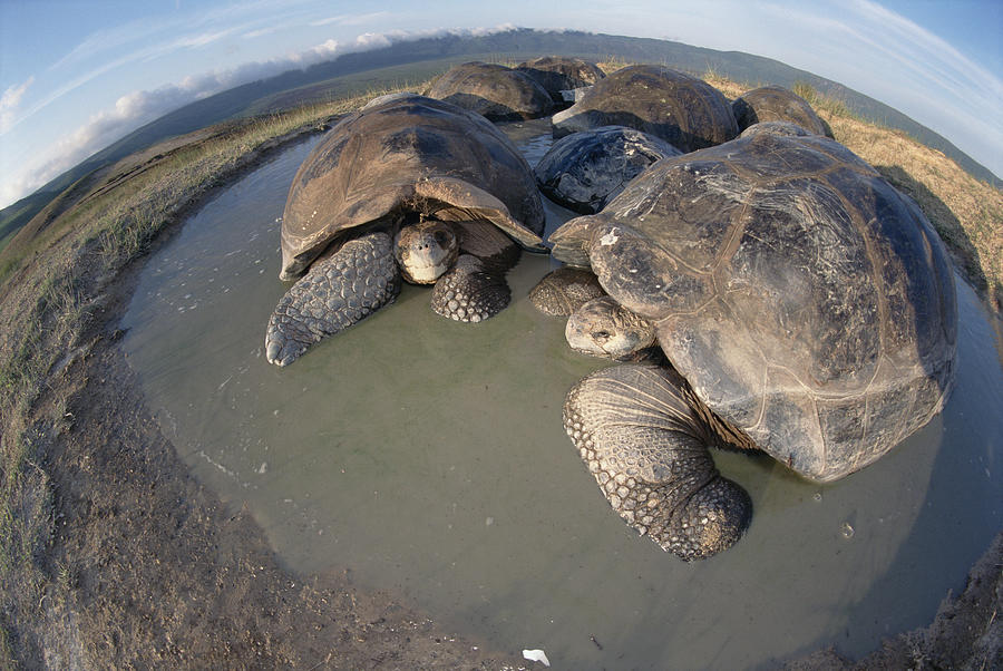 Photograph Photograph - Volcan Alcedo Giant Tortoises Wallowing by Tui De Roy