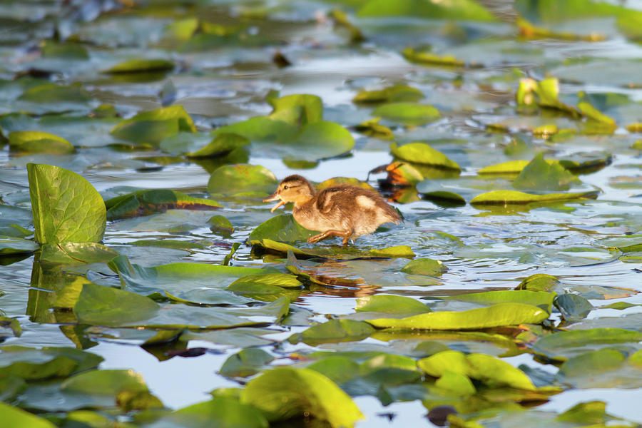 Anas Platyrhynchos Photograph - Wa, Juanita Bay Wetland, Mallard Duck by Jamie and Judy Wild