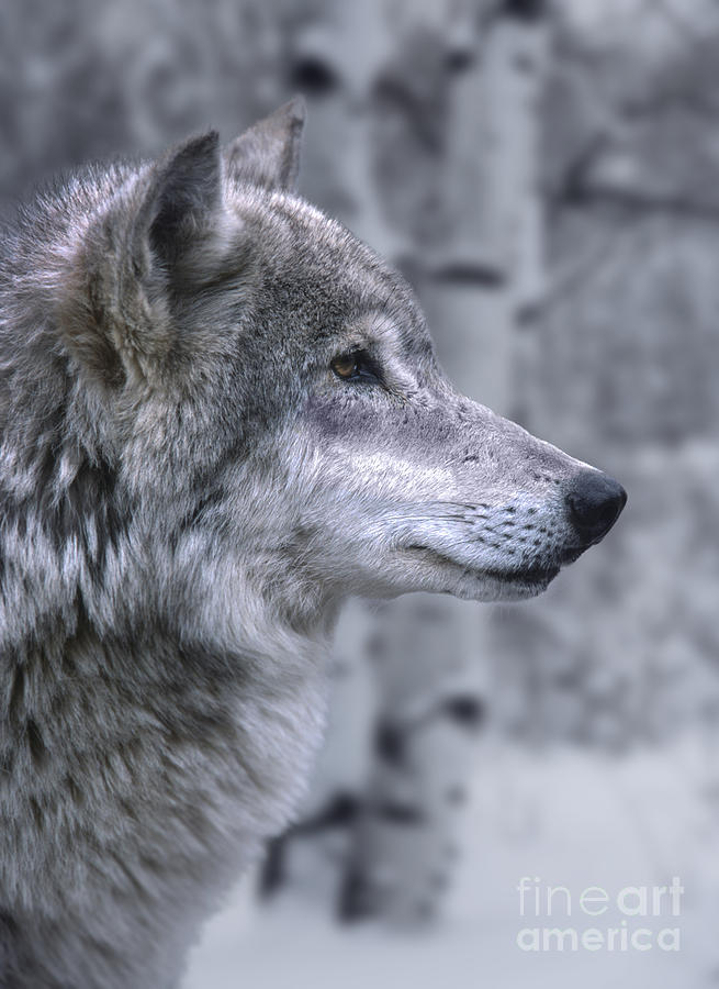 Wolf Photograph - Watching And Waiting by Sandra Bronstein