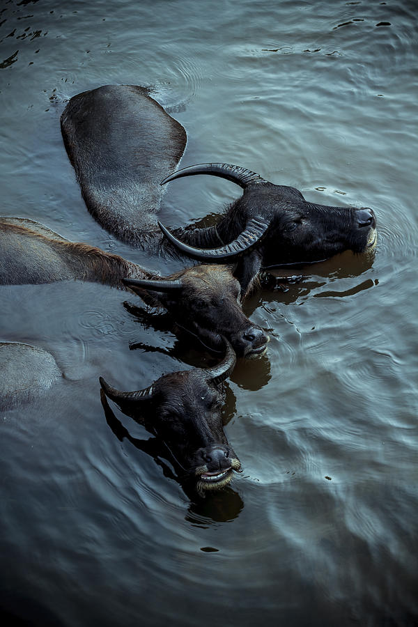 Black Photograph - Water Buffalos by Soren Egeberg