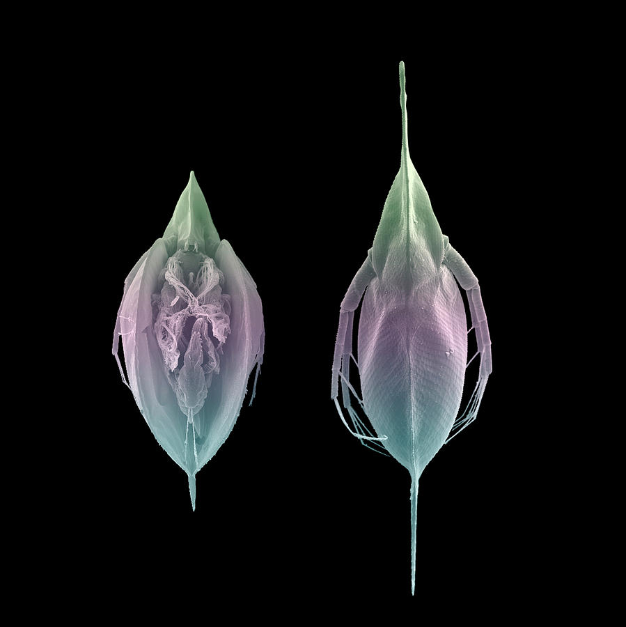 Water Flea Morphs Photograph By Christian Laforsch Science Photo Library