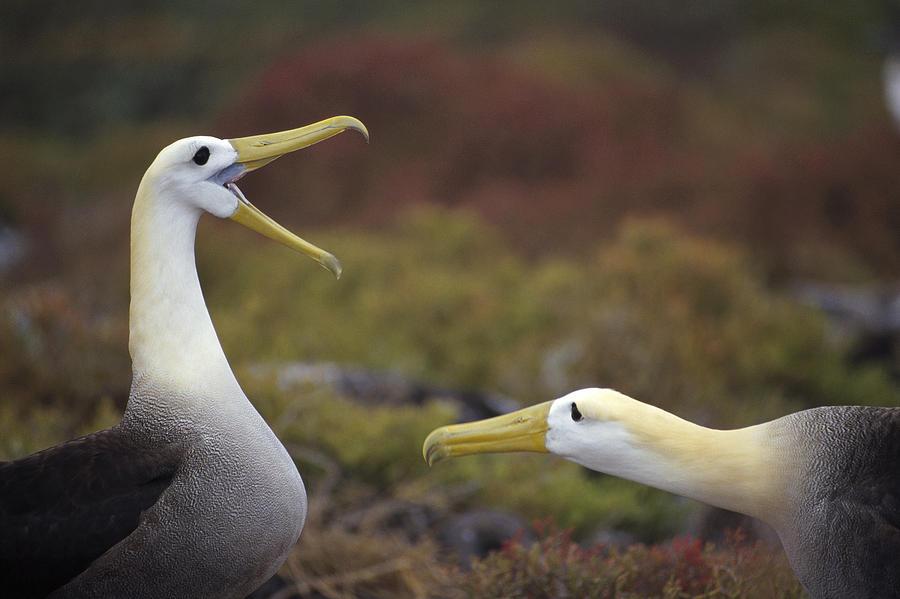 Waved Albatross Courtship Display Photograph by Tui De Roy
