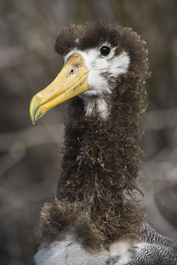 Waved Albatross Molting Juvenile Photograph by Pete Oxford