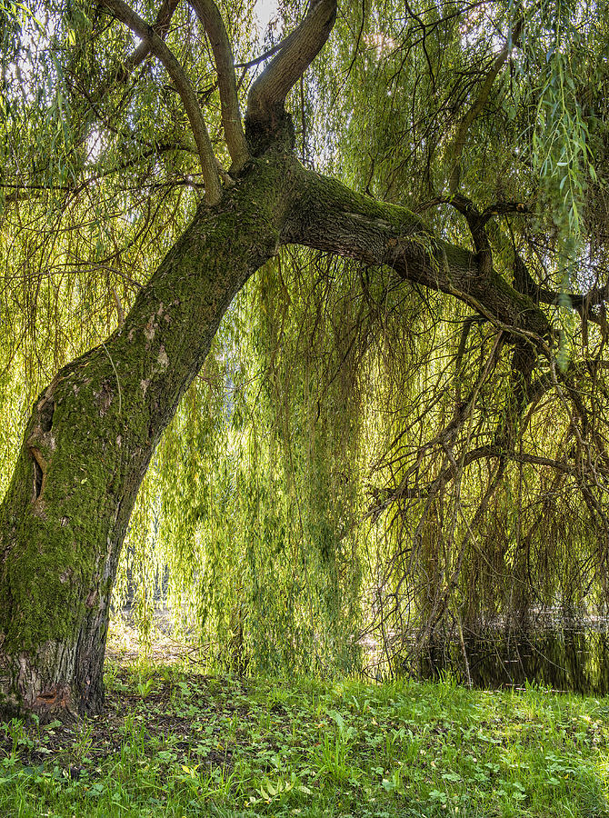 Weeping Willow Photograph - Weeping Willow by Thomas Schreiter